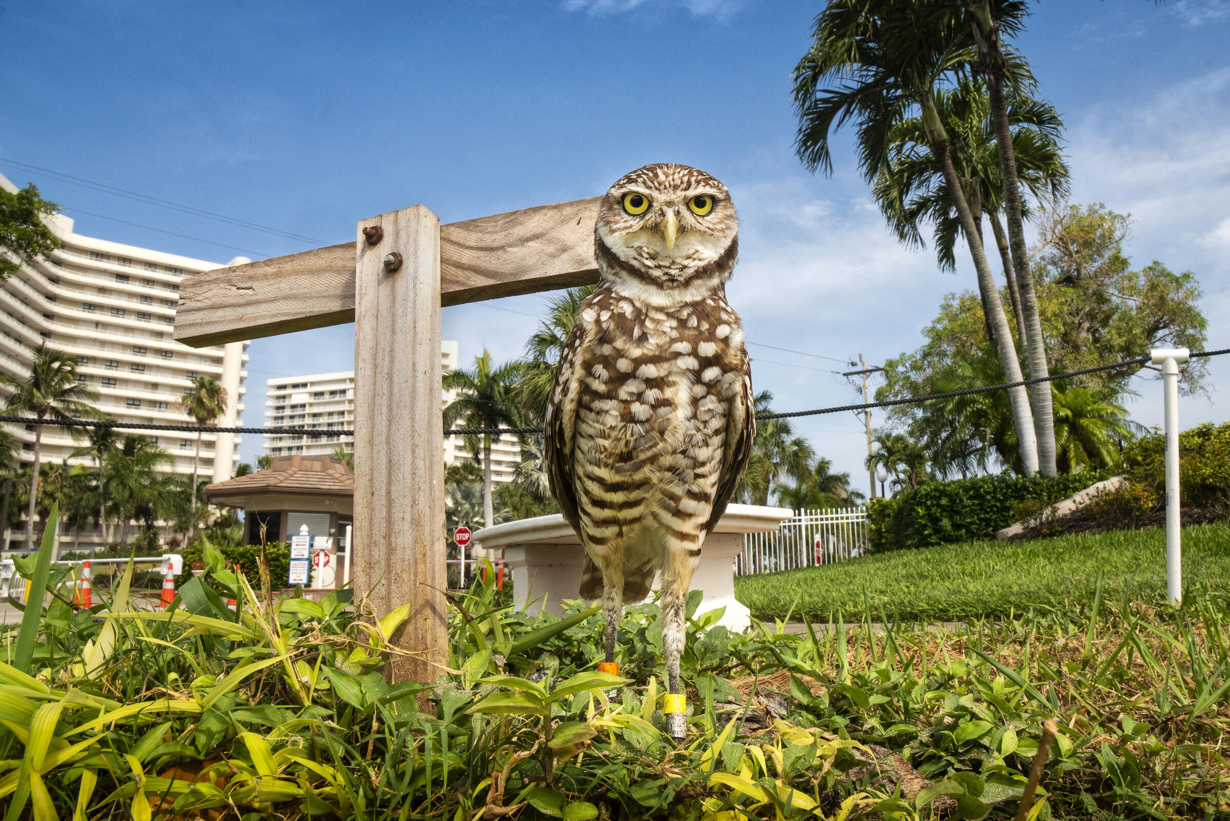 A male owl, named Umberto Bench, lives with his mate in front of the gated entrance to a beachfront condominium complex. A parade of people visit the pair and their five chicks on a daily basis. Karine Aigner
