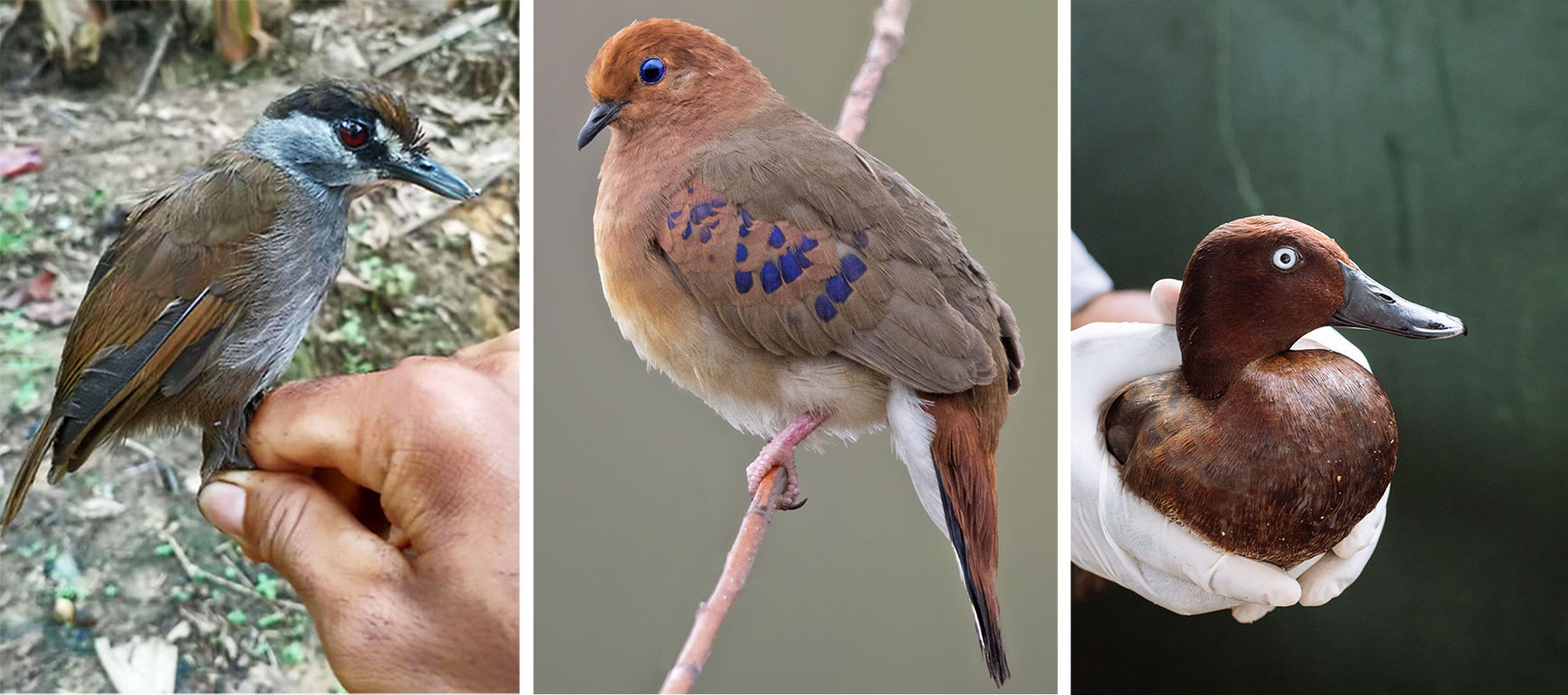 Three lost birds that have been rediscovered in the last two decades. Left to right: Black-browed Babbler, Blue-eyed Ground-Dove, and the Madagascar Pochard.