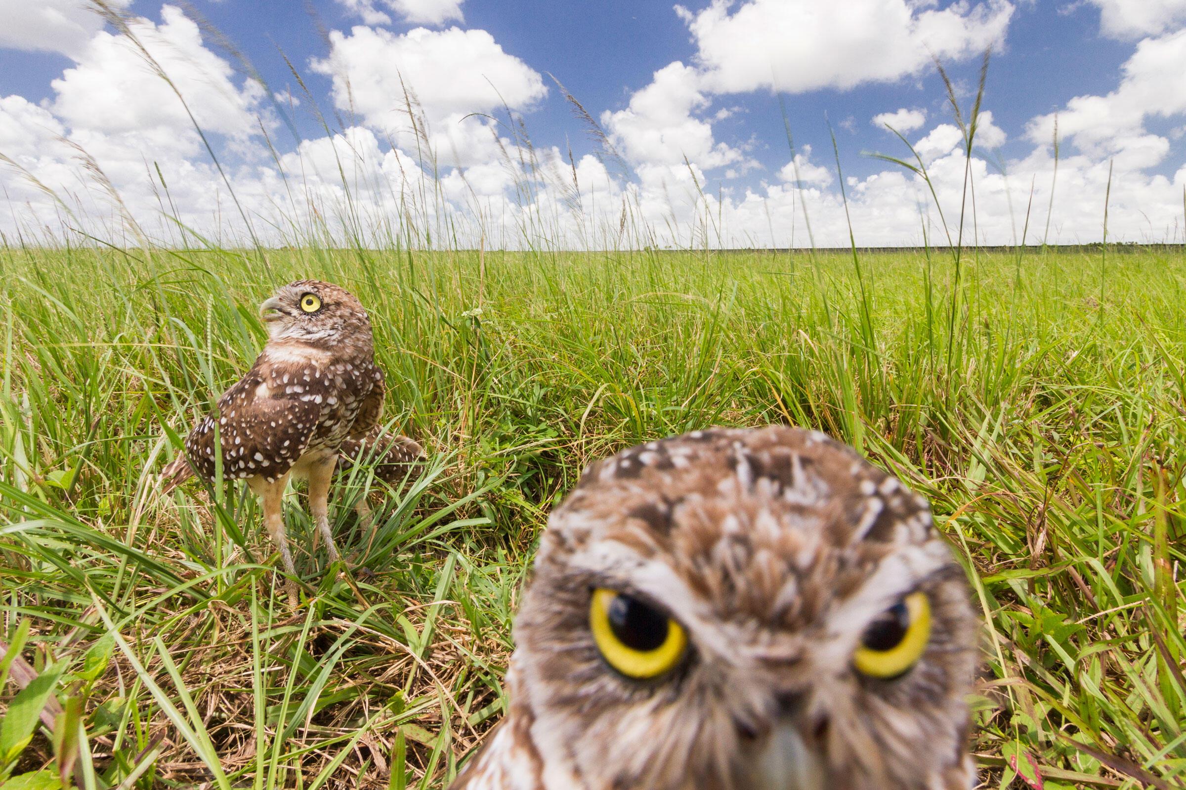 Burrowing Owls. Mac Stone
