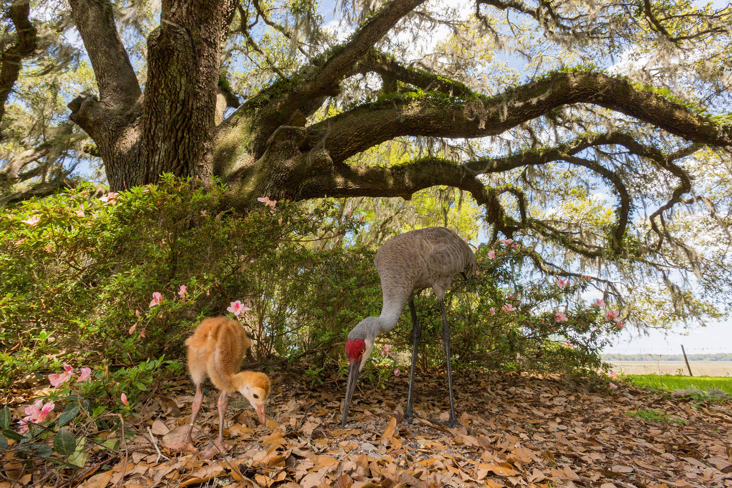 Using remote triggers to operate your camera, birds like these Sandhill Cranes will carry on as if no one was watching. Mac Stone