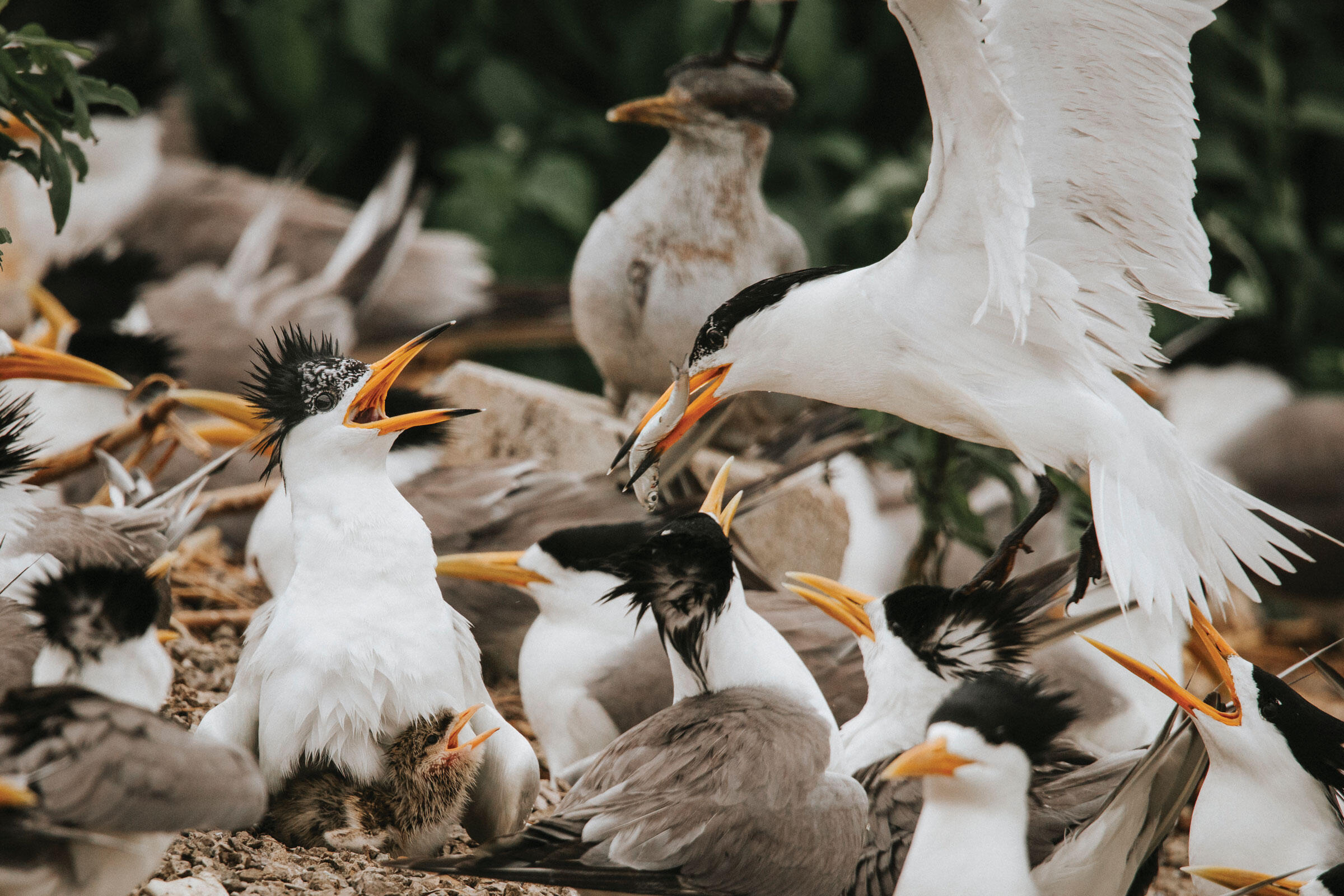 A Chinese Crested Tern returns to the nest after a successful hunt at sea, the fish it caught at the ready to feed to its chick. Morgan Heim