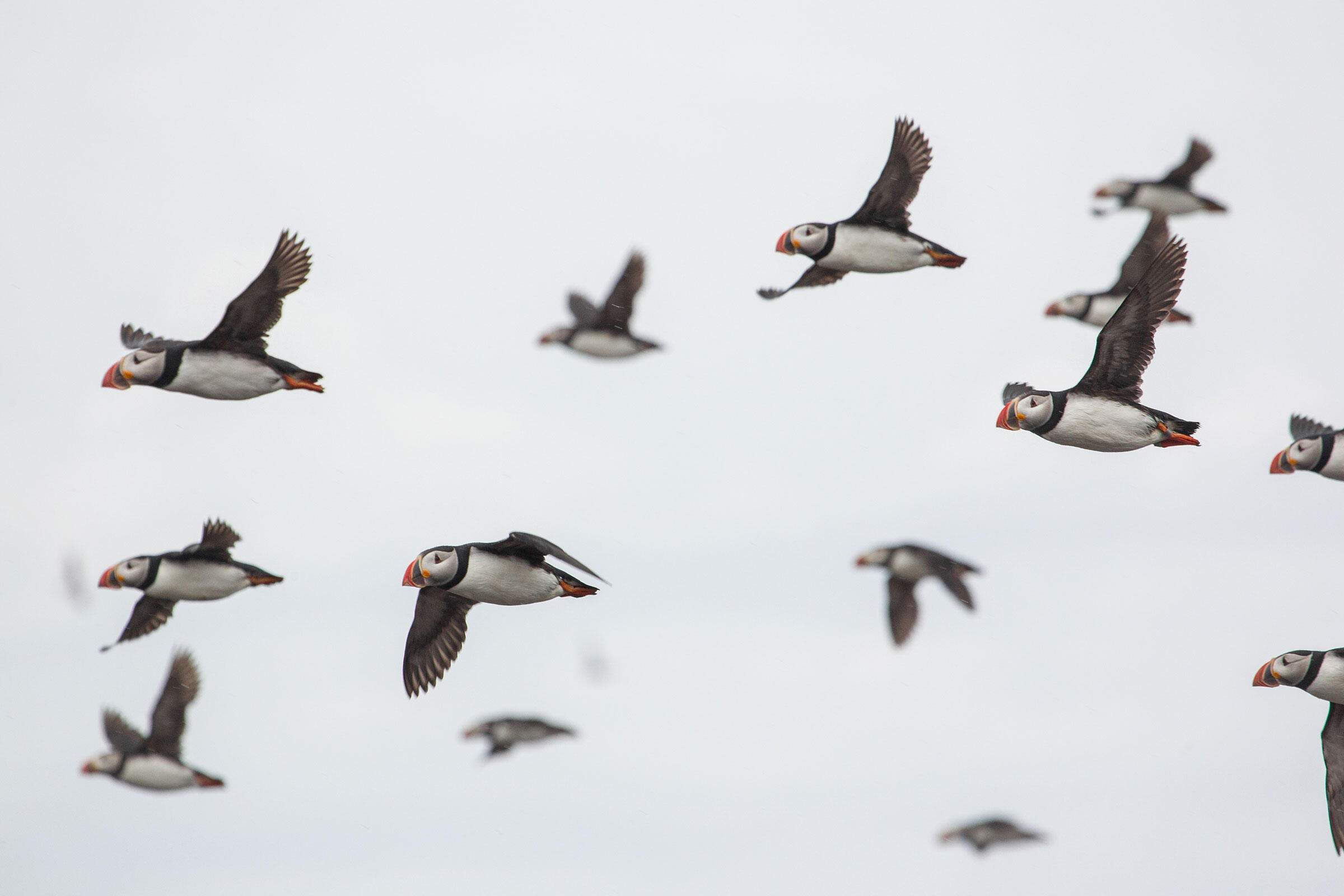 The large number of Atlantic Puffins that call Machias Seal Island home has made it a popular destination for photographers. Christopher Ciccone
