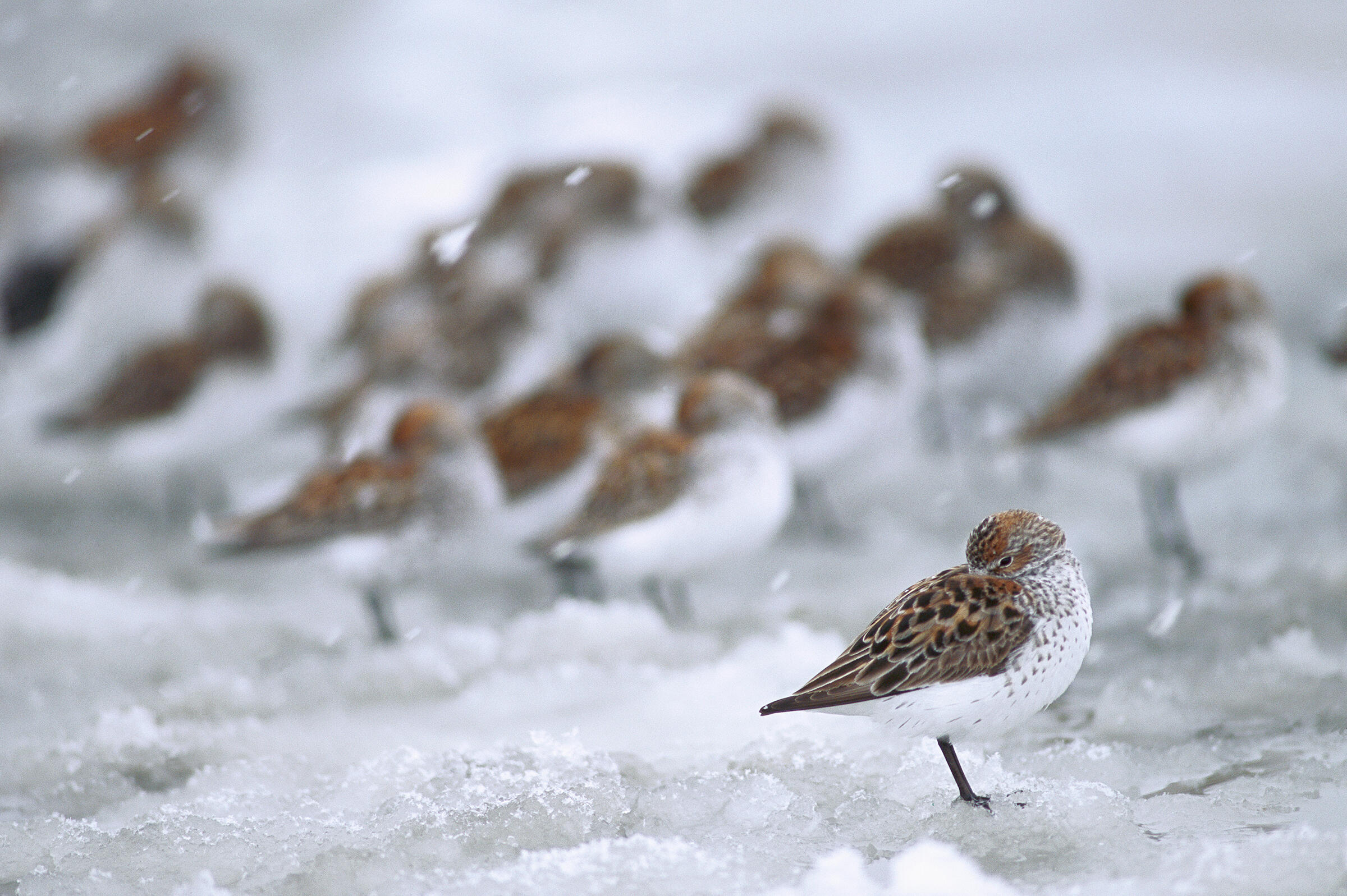 Due to late snowmelt, Western Sandpiper breeding was a bust in Alaska this summer, says shorebird ecologist Richard Lanctot of the U.S. Fish and Wildlife Service. Michael Quinton/Minden Pictures