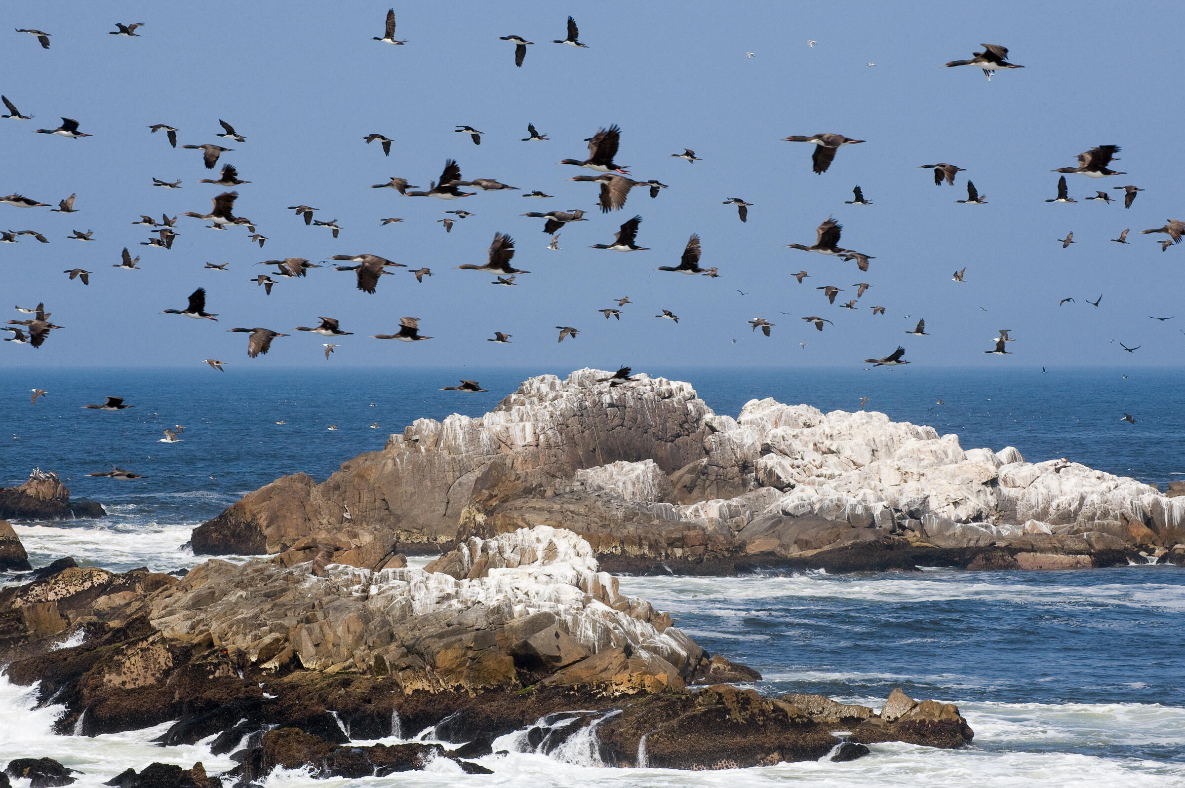 A flock of Guanay Cormorants seen off the coast of Peru. Kevin Schafer/Minden Pictures