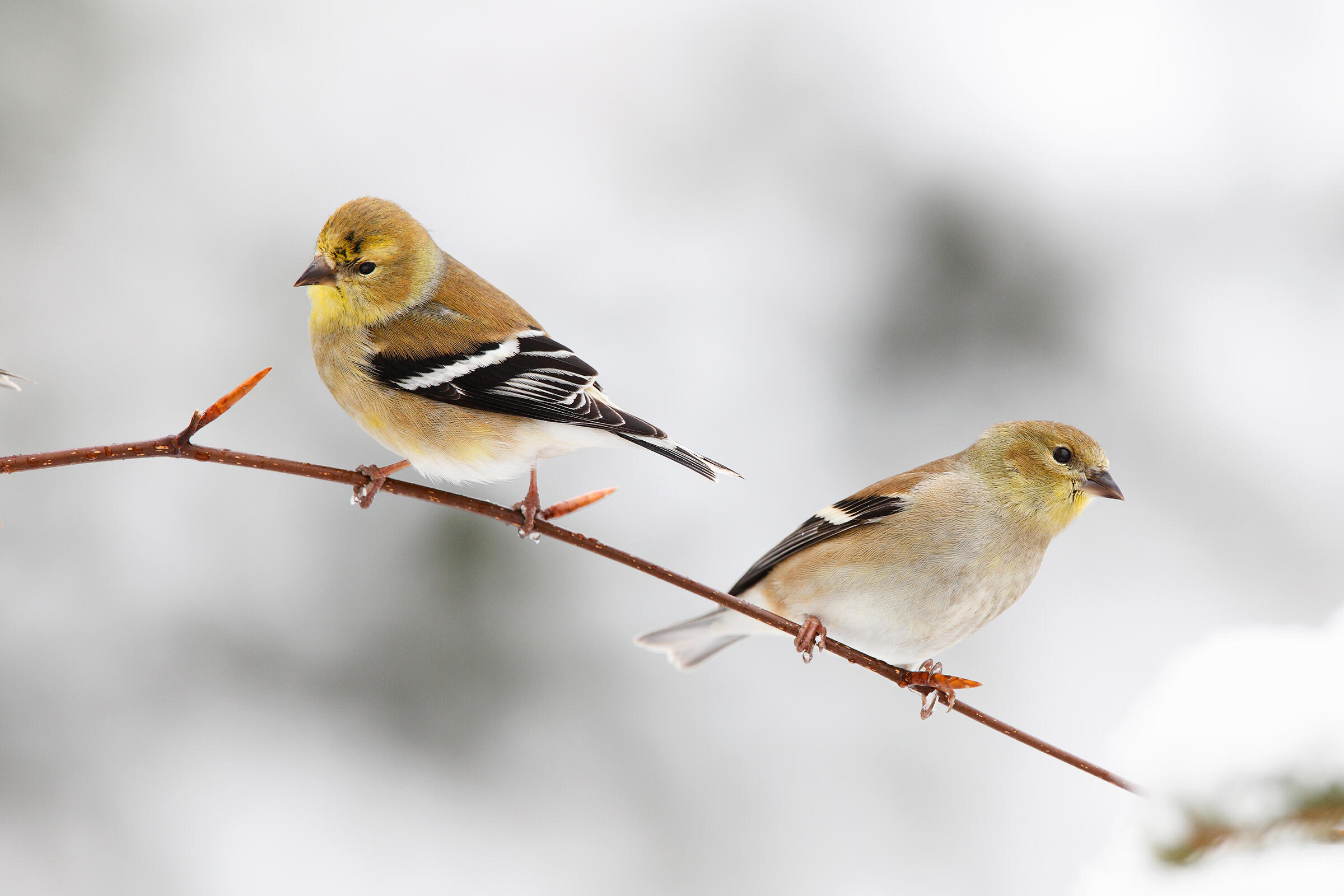 American Goldfinches. Scott Leslie/Minden Pictures