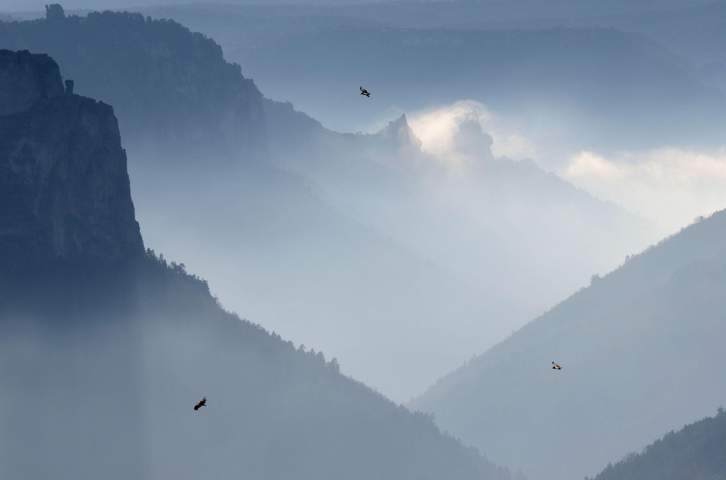 Eurasian Griffon Vultures. Fabrice Cahez/NPL/Minden Pictures