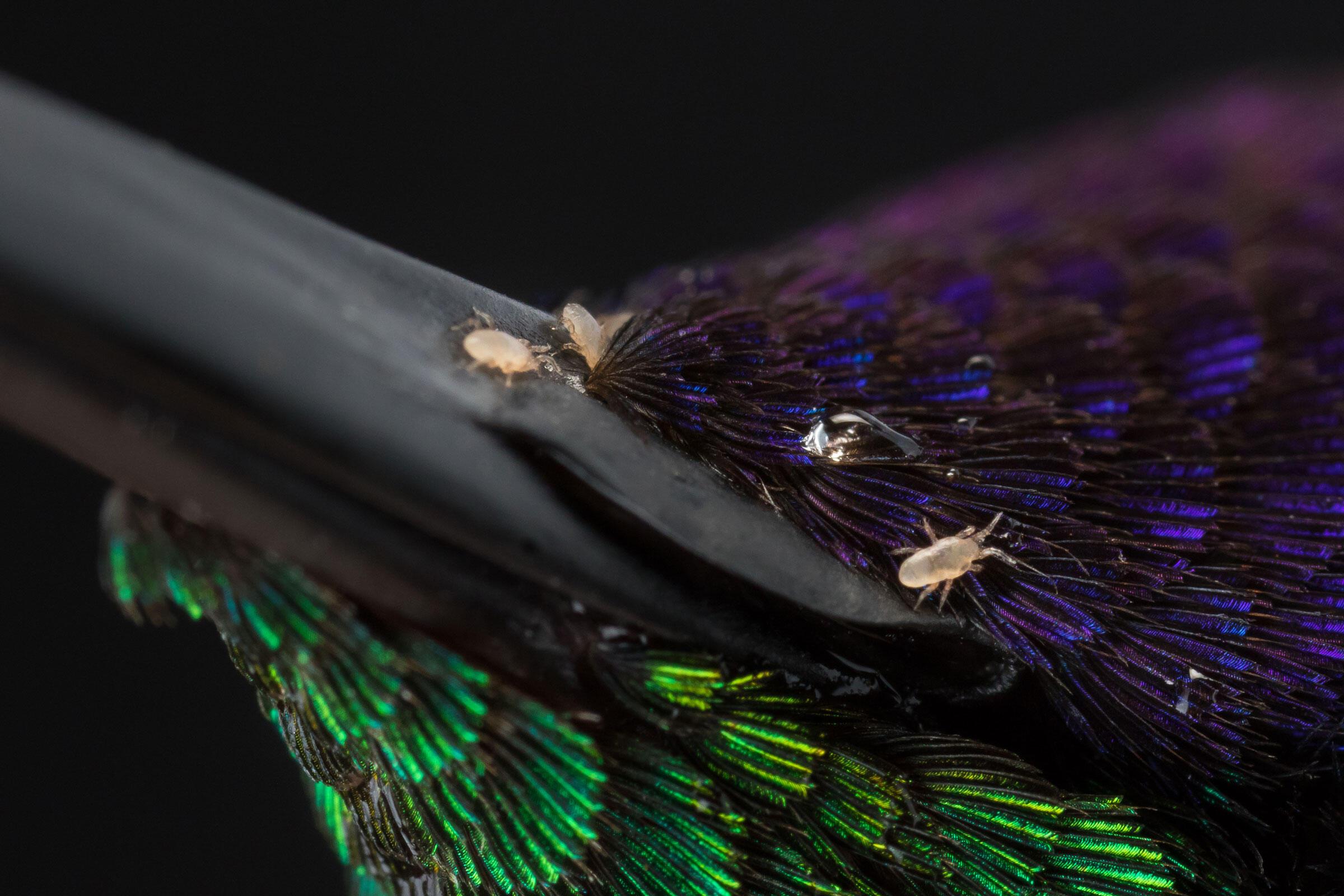 Mites on Crowned Woodnymph. Sean Graesser