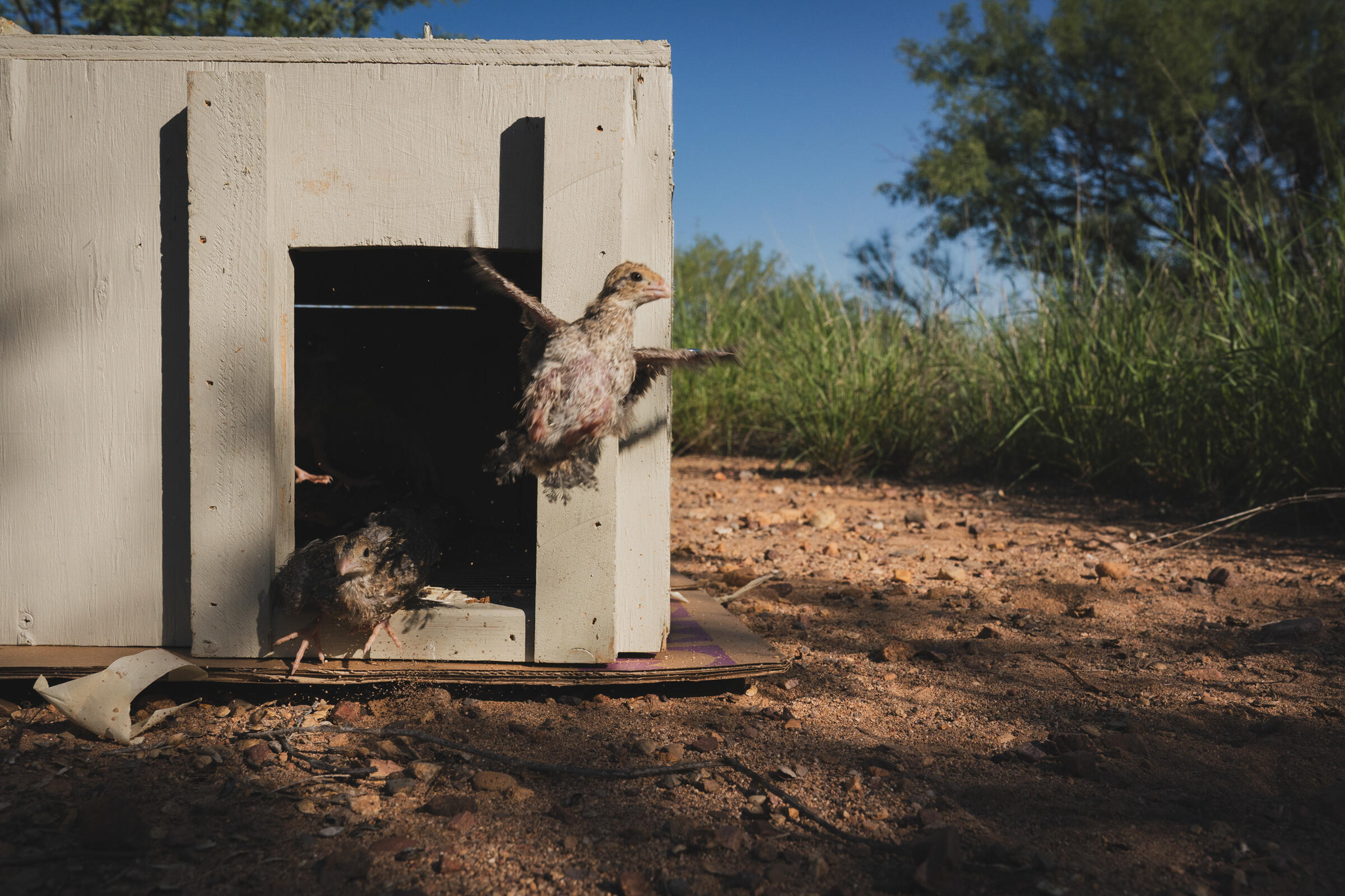 Sometimes chicks walk out of the box. Sometimes they run. Sometimes they erupt in an awkward, clumsy tumult of feathers. However it happens, these young birds are getting their first taste of freedom. Morgan Heim