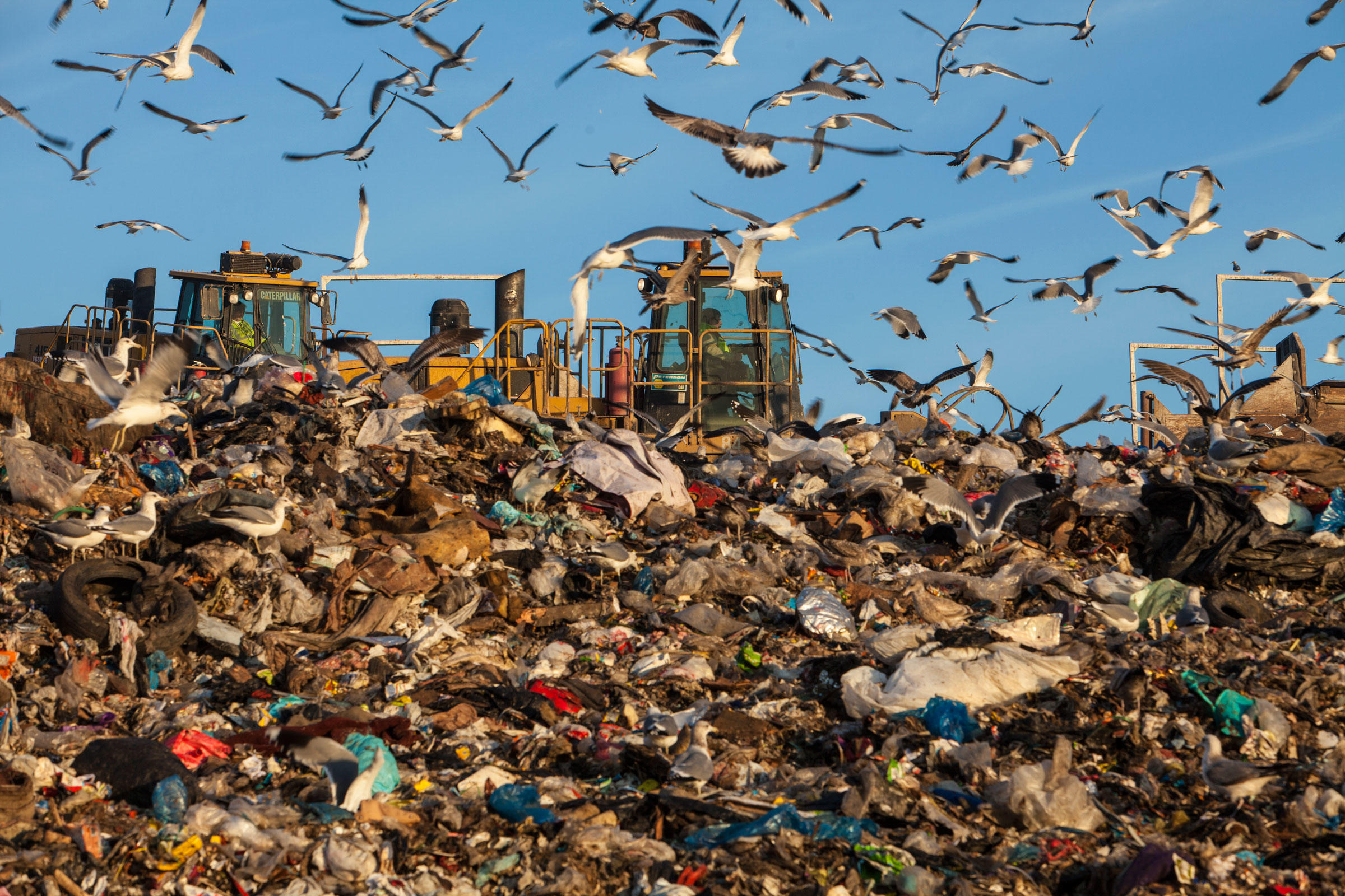 Landfills are all-you-can-eat buffets for omnivorous birds. Mark Thiessen/National Geographic Creative