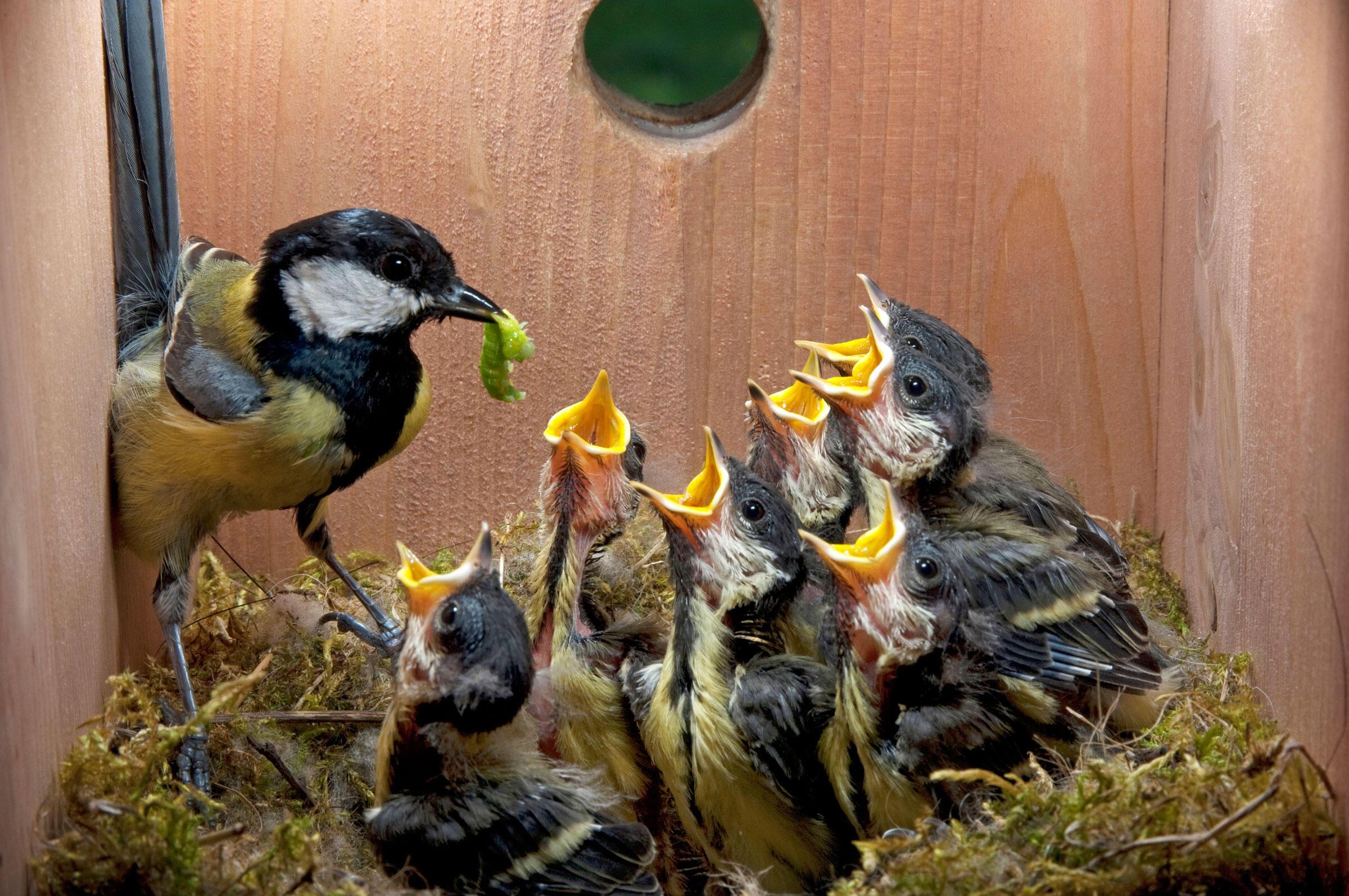 A Great Tit family, in a nest box. Juniors Bildarchiv GmbH/Alamy