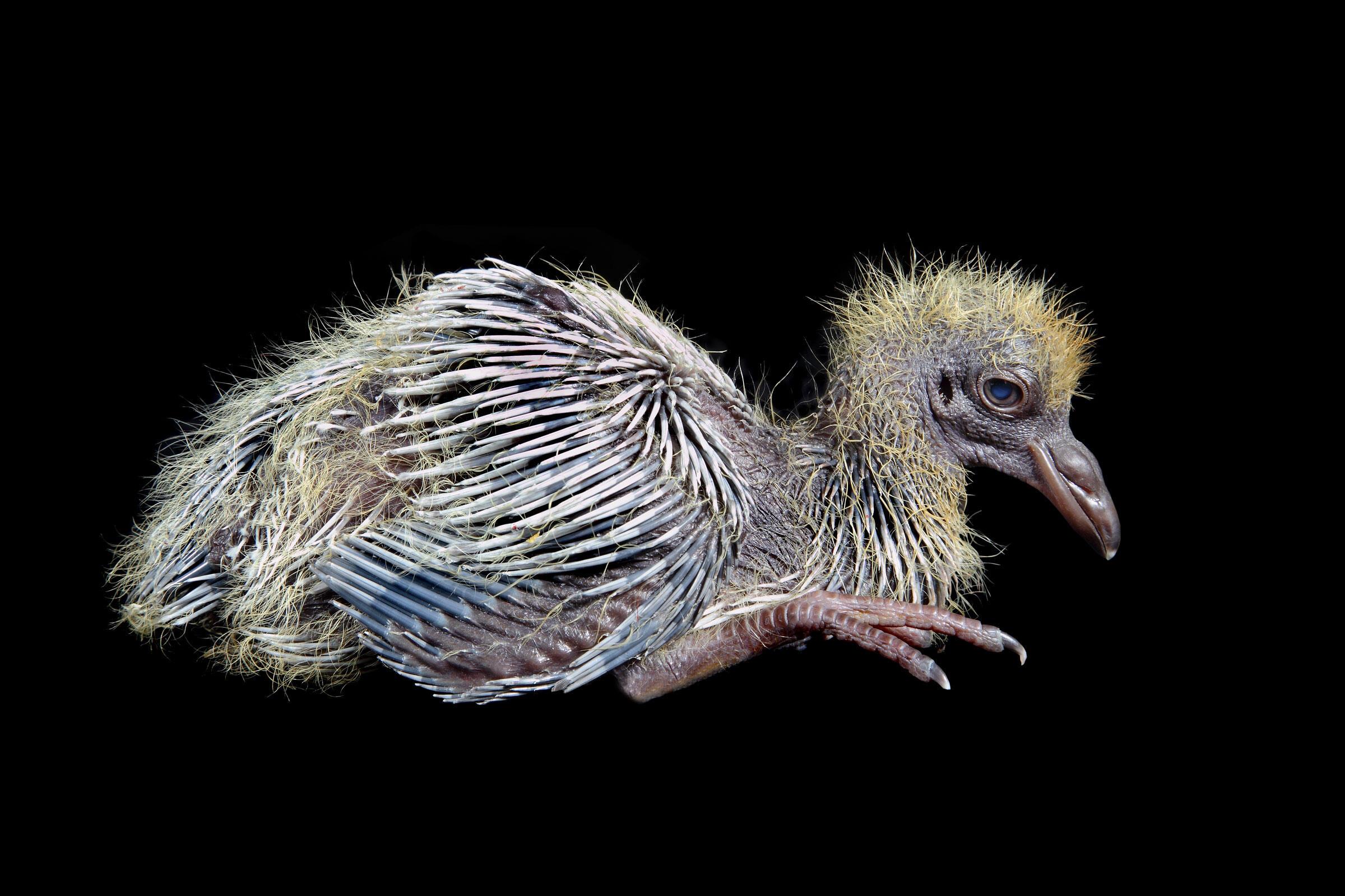 Rock Pigeon chick. Andrew Garn