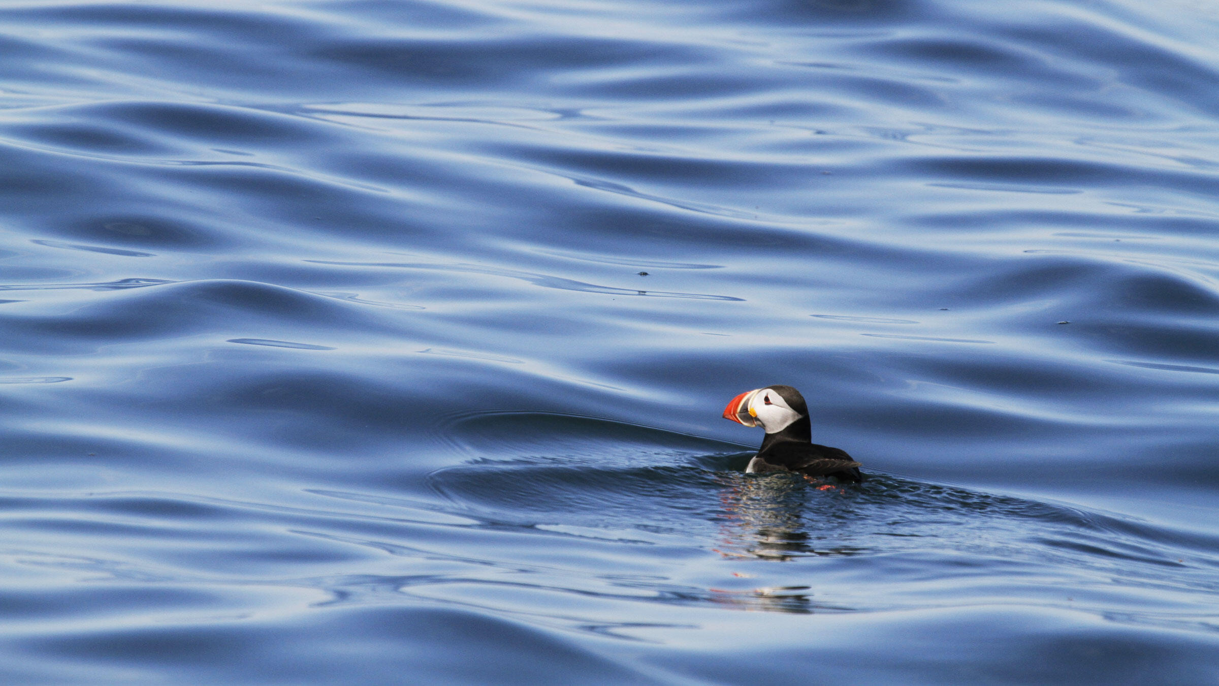 Adult Atlantic Puffins can spend up to eight months on the waves, never touching land as they sleep, eat, and drink out at sea. Stephen Kress