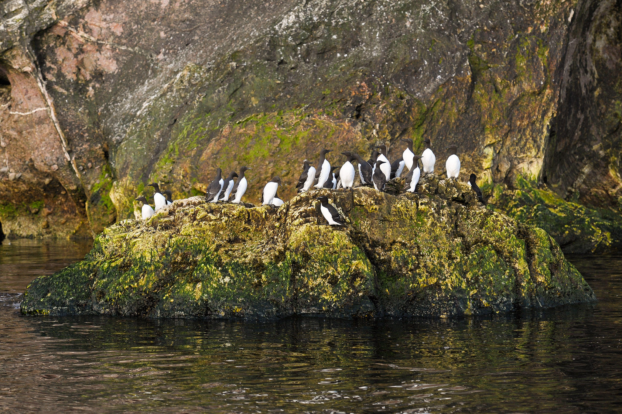 This shot of a flock of Common Murres and Razorbills was taken from a small Zodiac boat off of Saint Bonaventure Island. E.J. Peiker