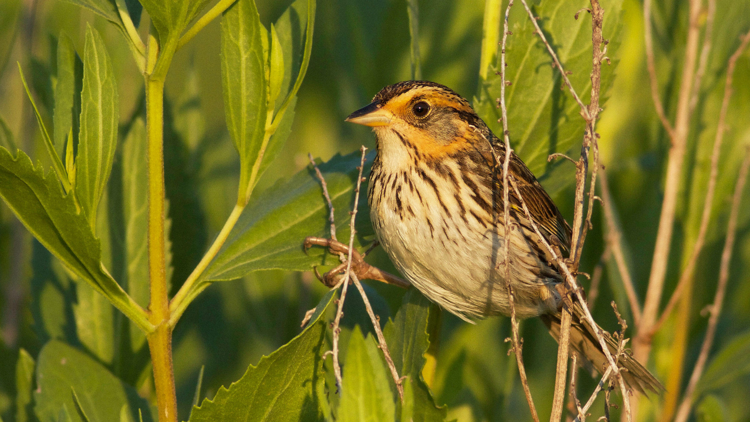 A Saltmarsh Sparrow at Jacobs Point in Warren, Rhode Island. Evan Lipton