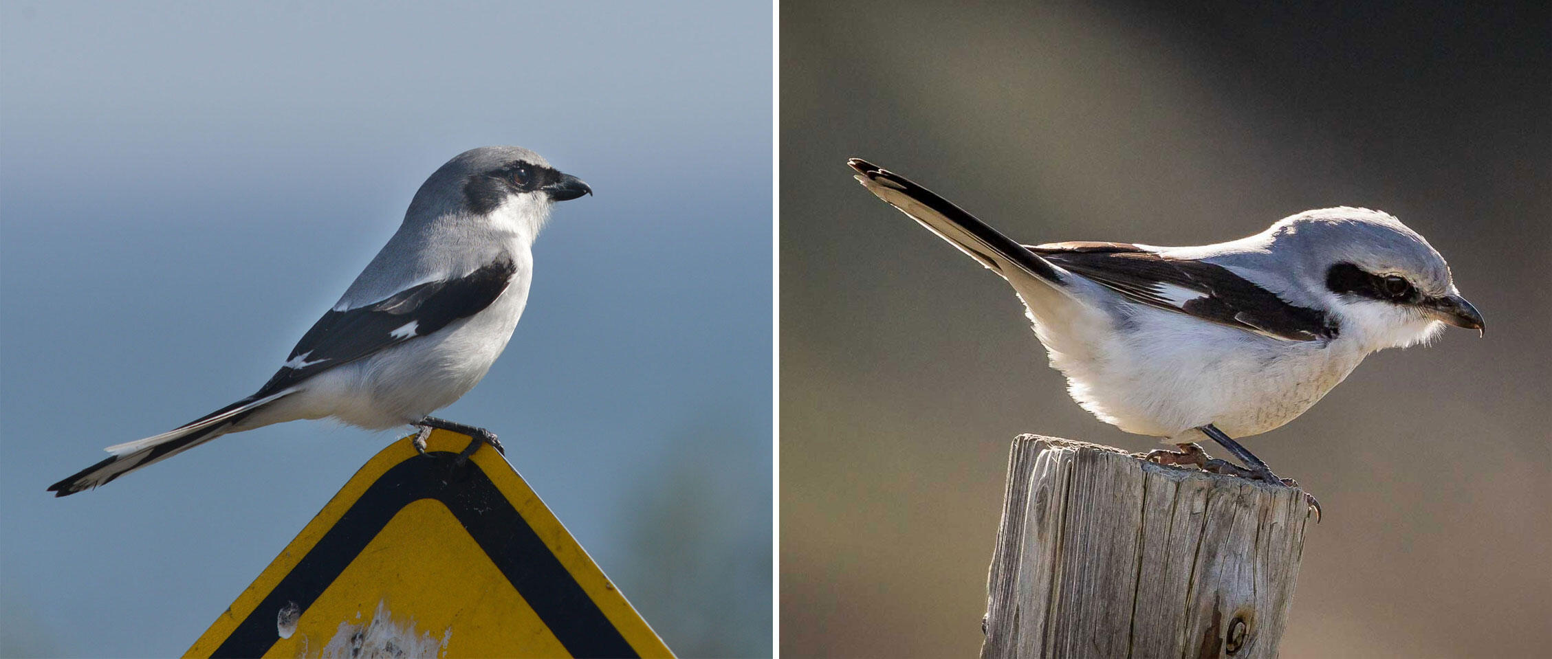 From left to right: Loggerhead Shrike and Northern Shrike. Don't let their adorable masked faces fool you. Photos: Deborah Bifulco/Great Backyard Bird Count,  Smudge 9000/Flickr CC (CC BY-SA 2.0)