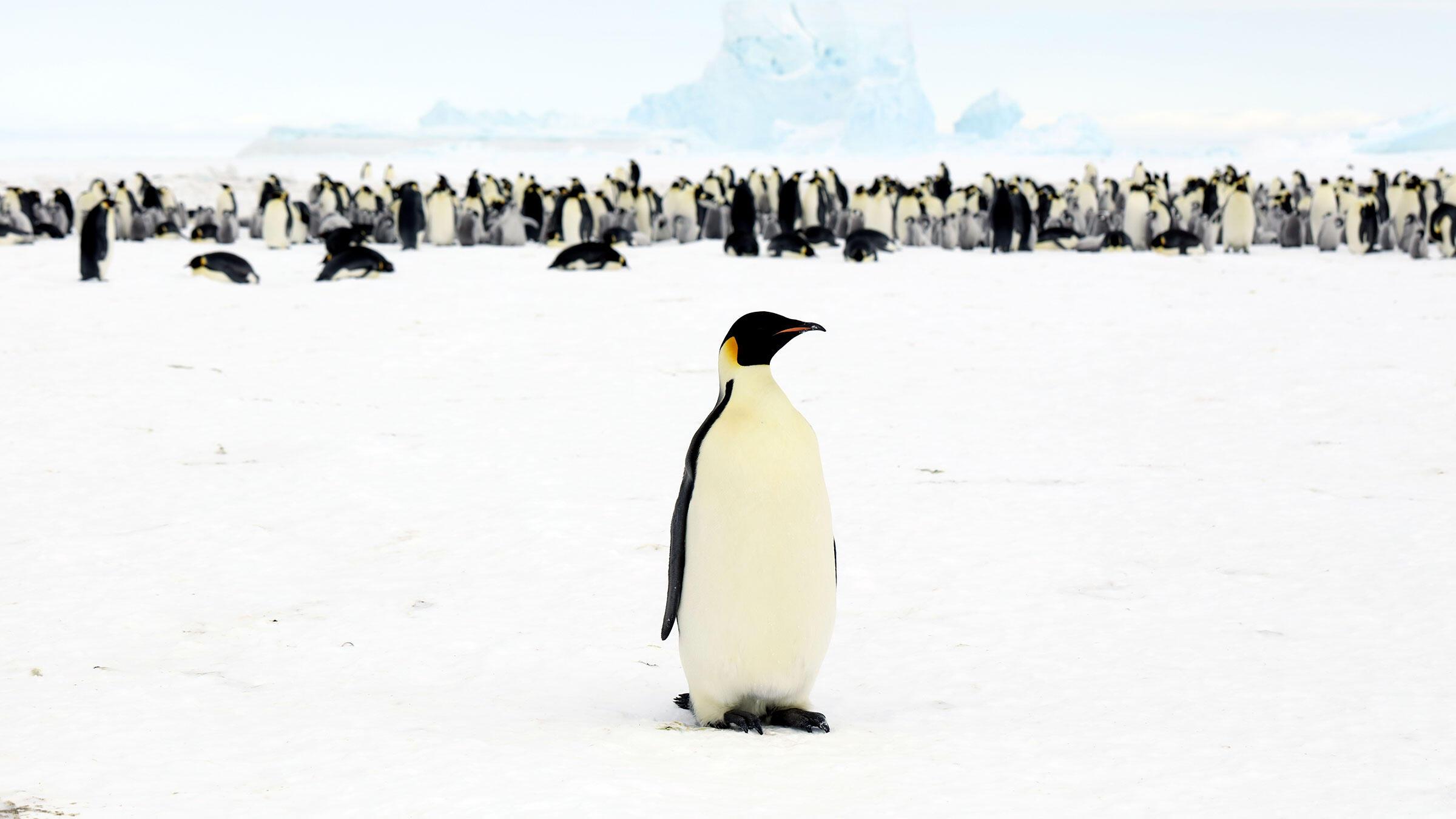 Emperor Penguin. Myeongho Seo/Shutterstock