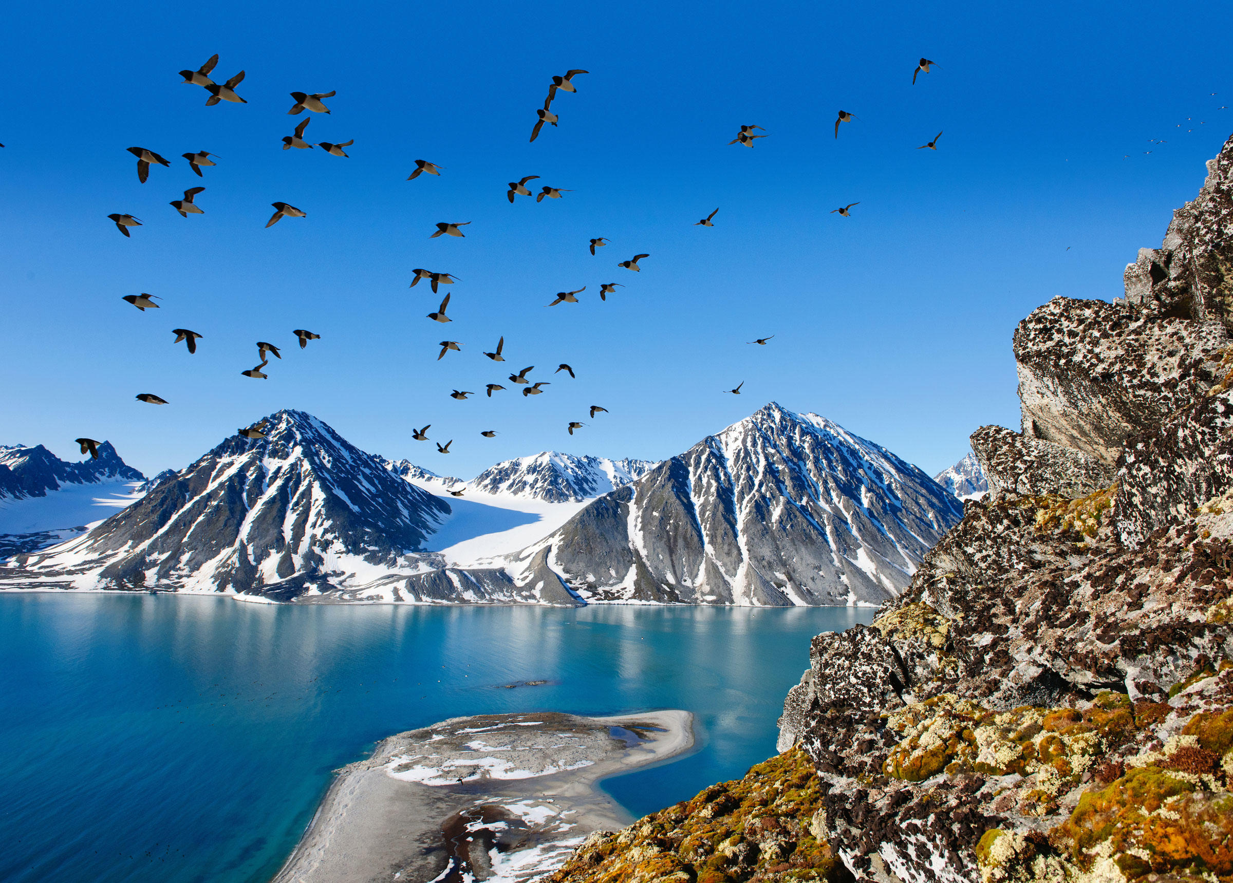 A colony of Dovekies at their cliffside nesting spot on the west coast of Svalbard. Florian Schulz/visionsofthewild.com