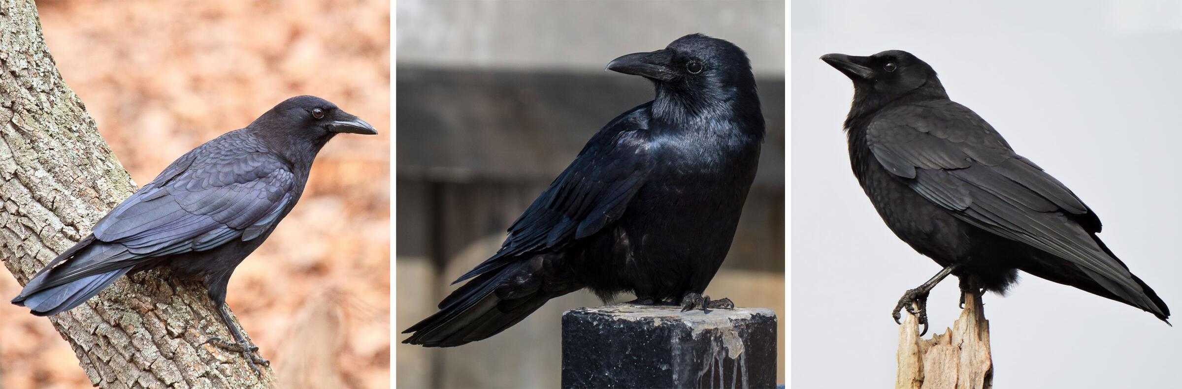 From left: American Crow. Photo: Paul Powers/Great Backyard Bird Count; Fish Crow. Photo: RW Sinclair/Flickr (CC BY-NC-SA 2.0); Northwestern Crow. Photo: Meryle Ardagh/Great Backyard Bird Count