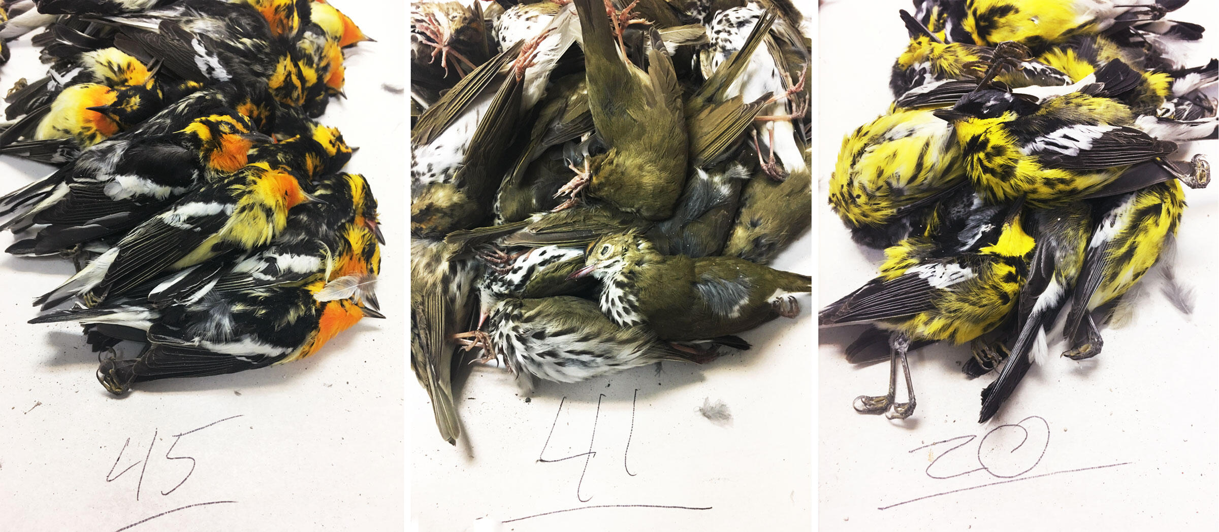 (From left to right) Blackburnian Warblers, Ovenbirds, and Magnolia Warblers were among the top casualties in this week's glass-induced tragedy in Galveston, Texas. Some of the counts shown here are incomplete. Josh Henderson