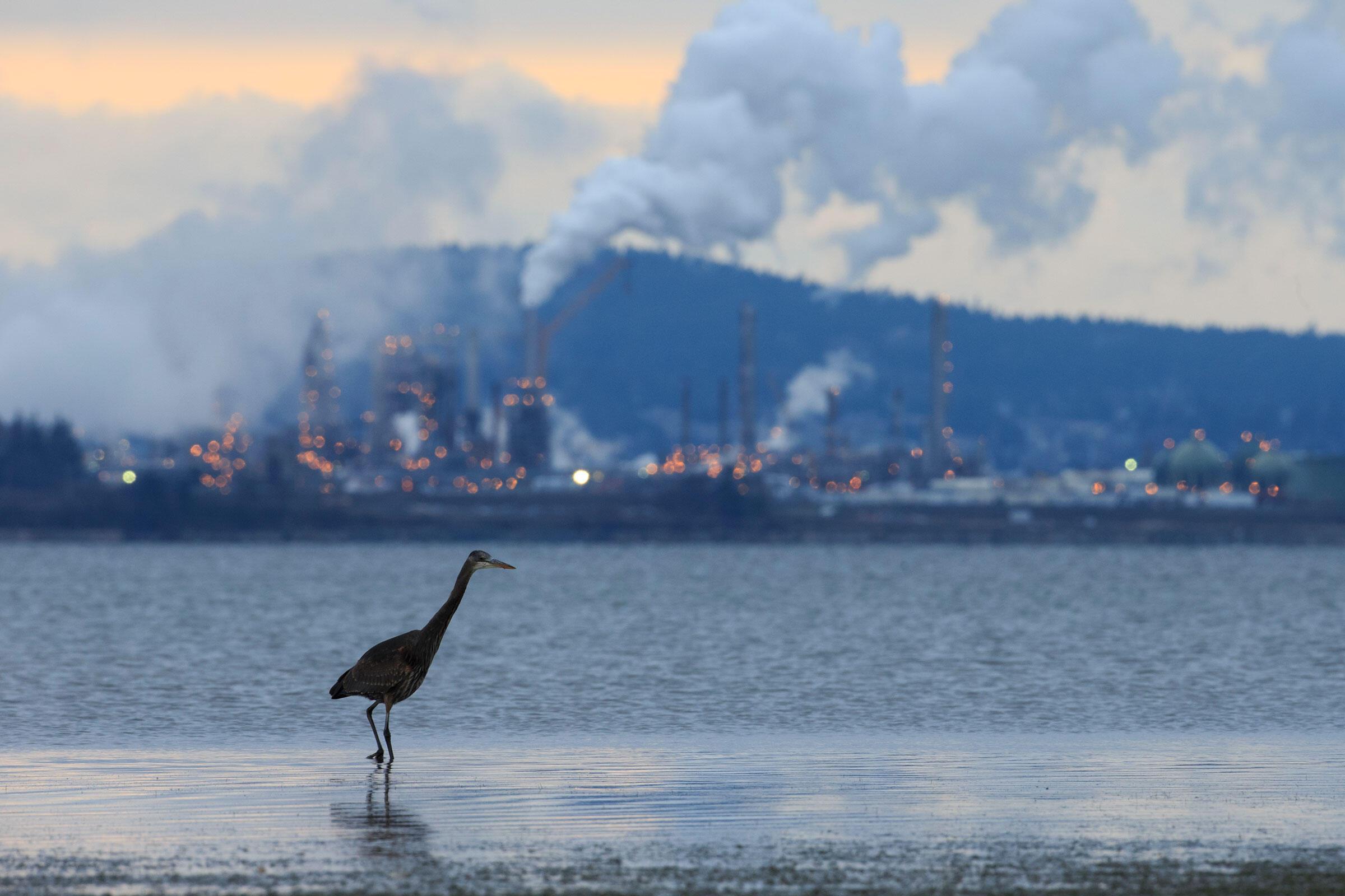 Una Garza Ceniza cerca de una refinería de petróleo en Padilla Bay, Washington.