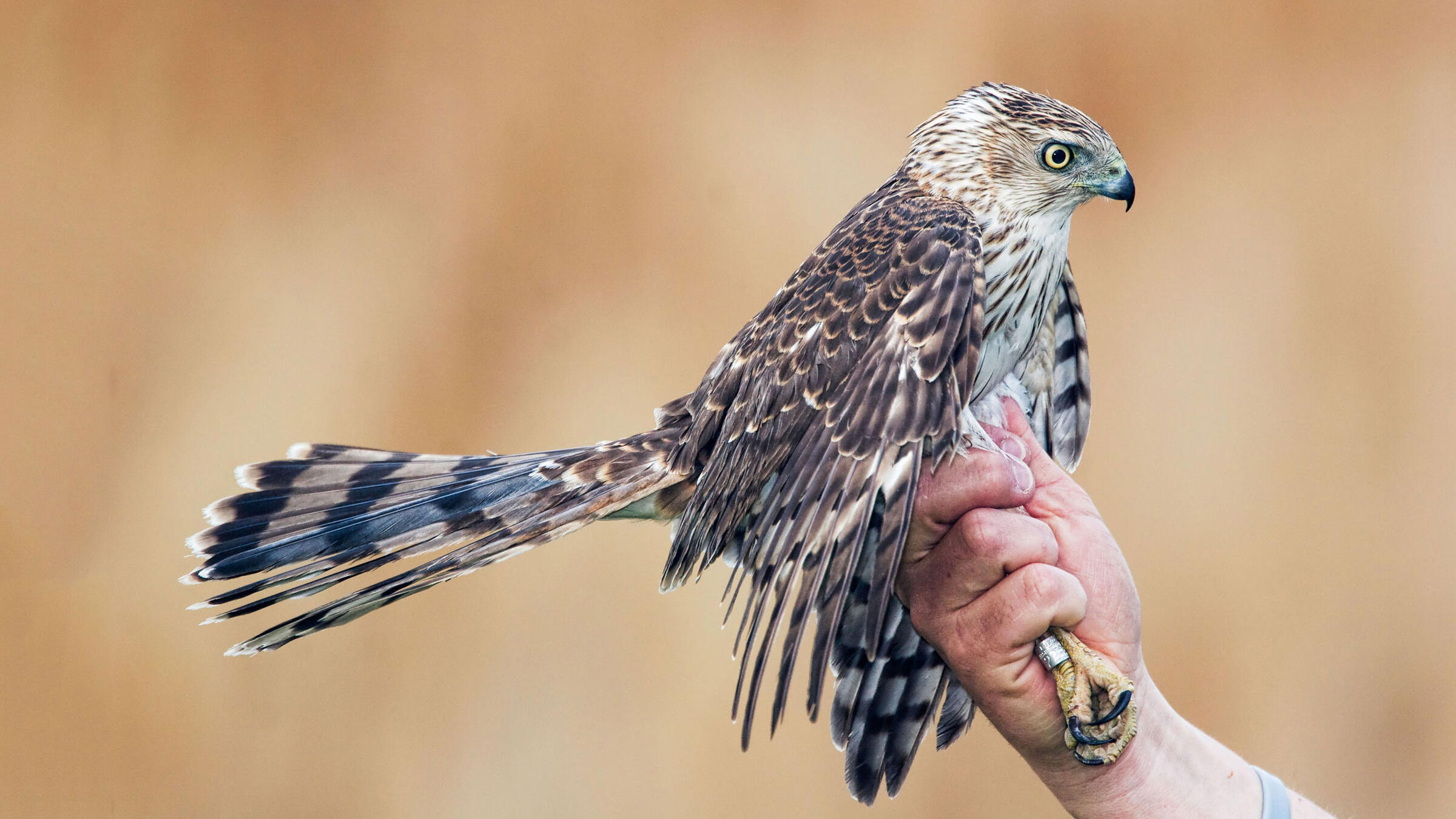 A simple numbered ring, like the one on this Cooper's Hawk, can help scientists track trends in avian populations. But getting a band on a raptor also takes a lot of skill. Harold Stiver/Alamy