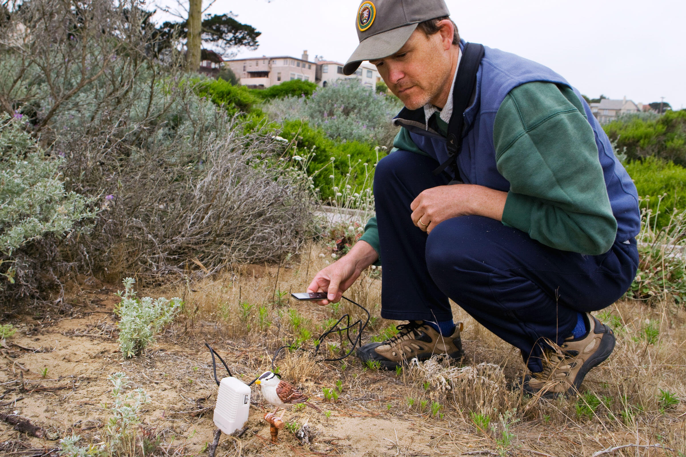 Biologist David Luther uses decoys and sound playbacks to study territorial responses of White-crowned Sparrows with different dialects in the Presidio section of San Francisco, California. Sebastian Kennerknecht/Minden Pictures