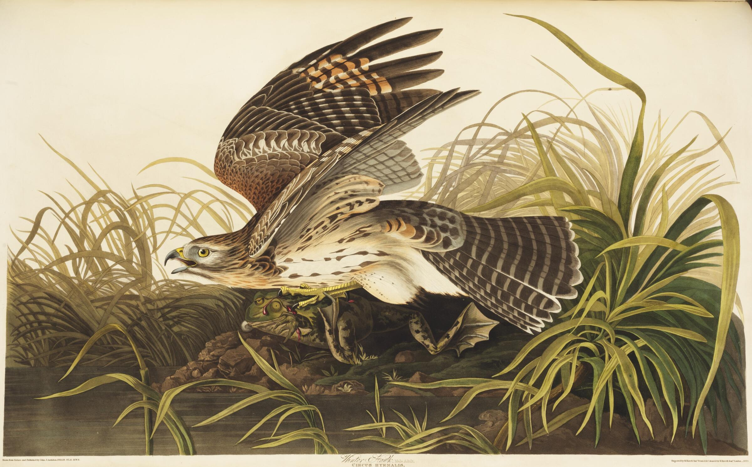Winter Hawk (now Red-shouldered Hawk). Illustration: John James Audubon