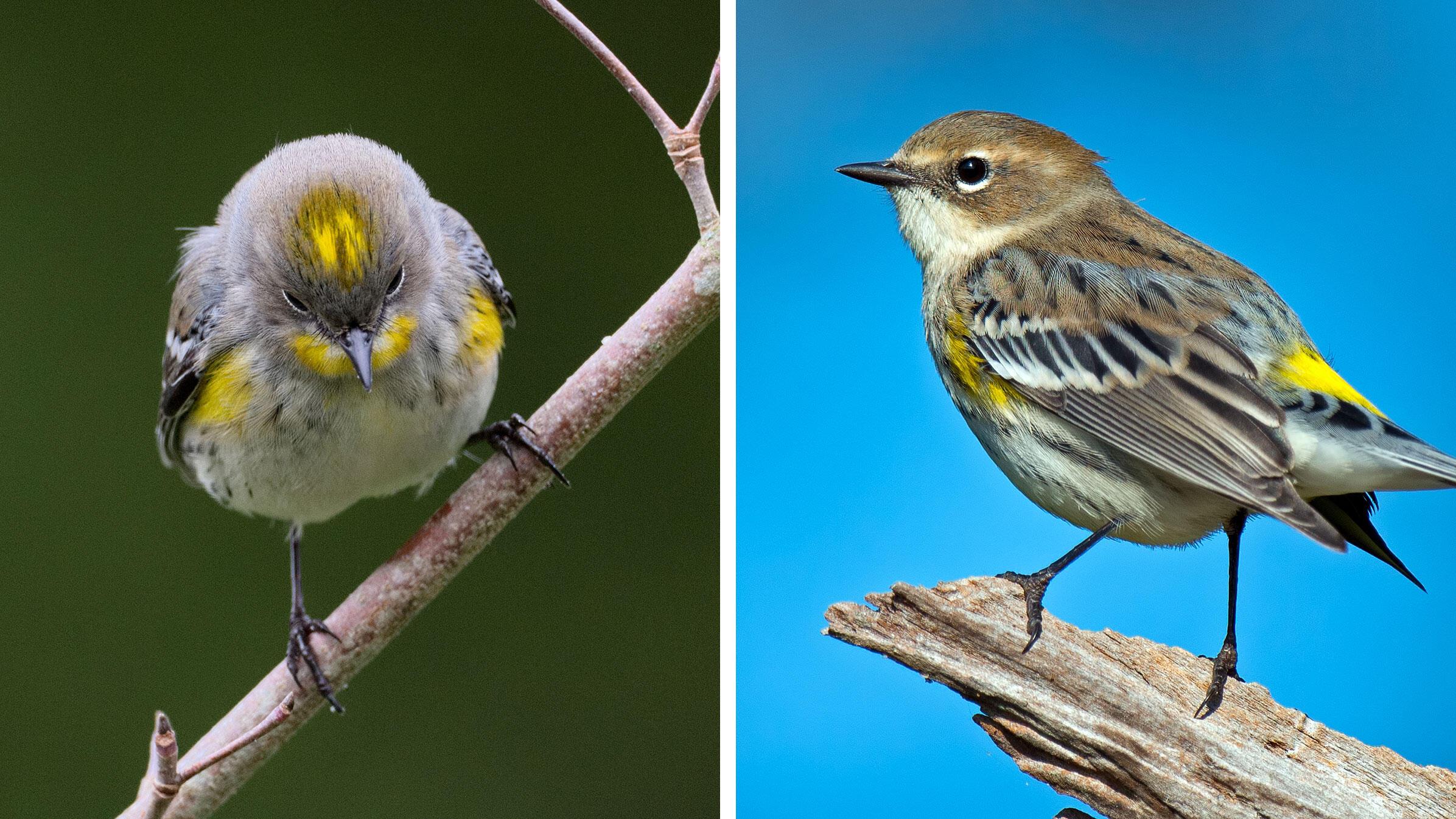 From left: Audubon's Warbler. Photo: Rick Cameron/Flickr (CC BY-NC-ND 2.0); Myrtle Warbler. Photo: Brian Kushner
