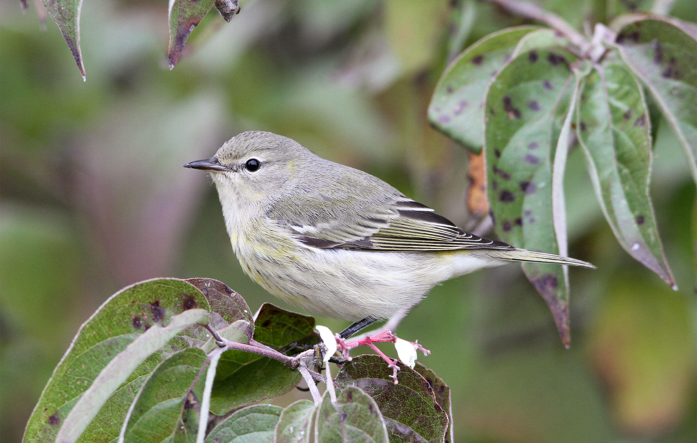 Though female warblers such as this Cape May Warbler might not have the flashy feathers of their male counterparts, their behaviors are often more interesting, writes Kaufman. Kenn Kaufman