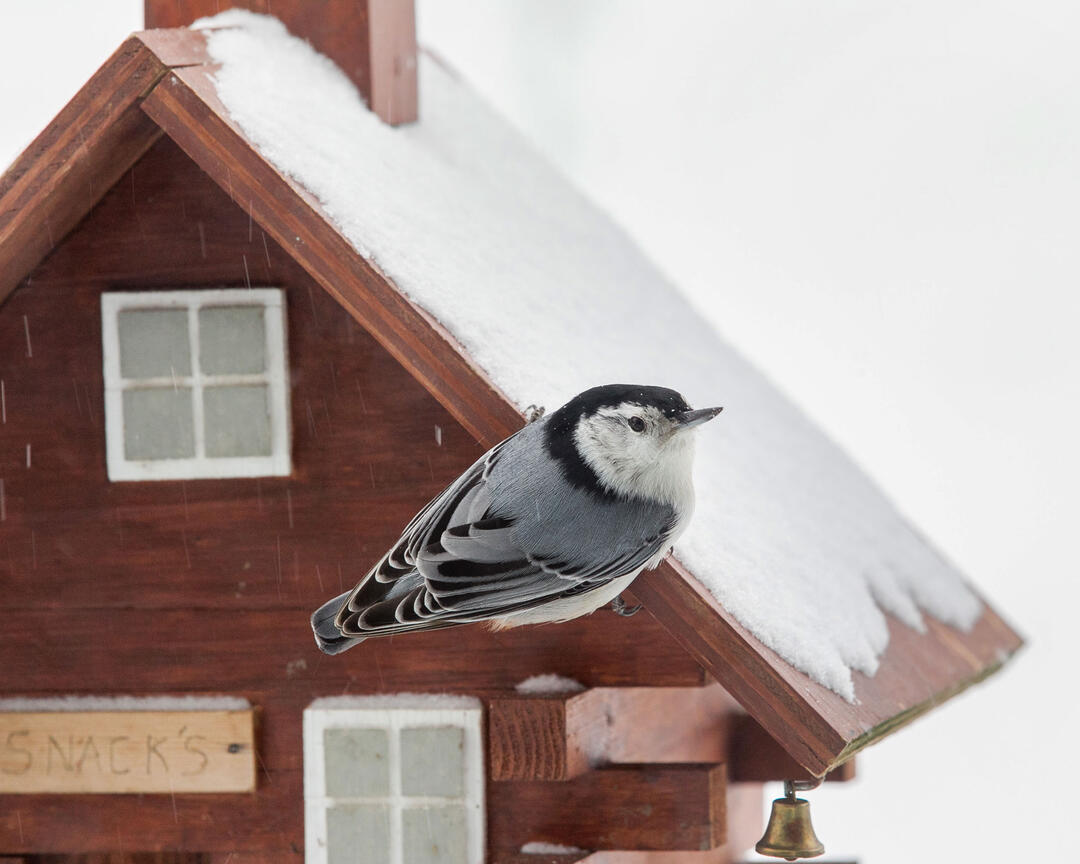 A Record-breaking Year for the Great Backyard Bird Count ...