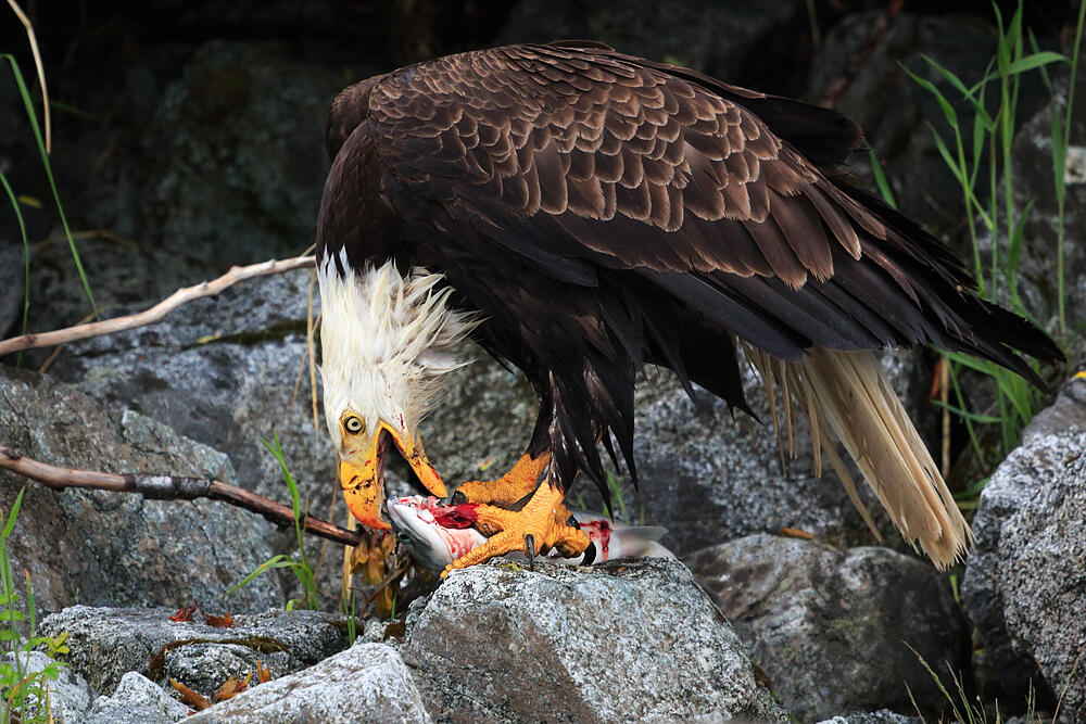 what is a bald eagles diet