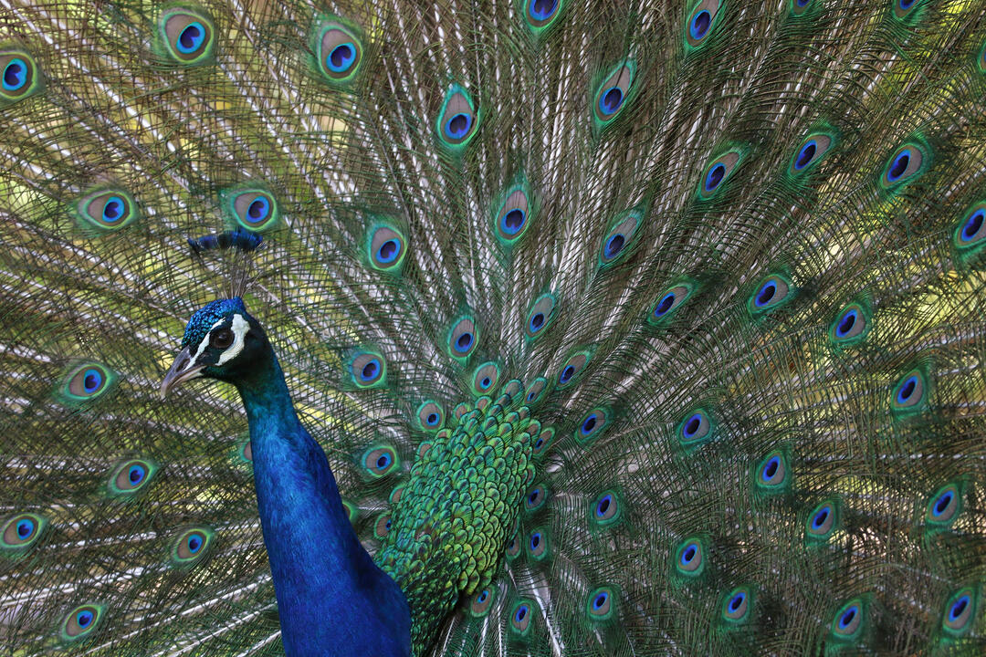 Hear the Sound of Peacock Love Made by Trembling Feathers   Audubon