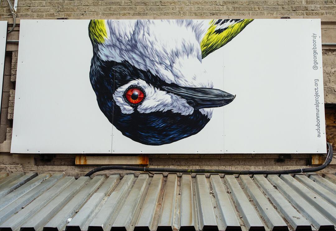 Black-capped Vireo by George Boorujy. Mike Fernandez/Audubon