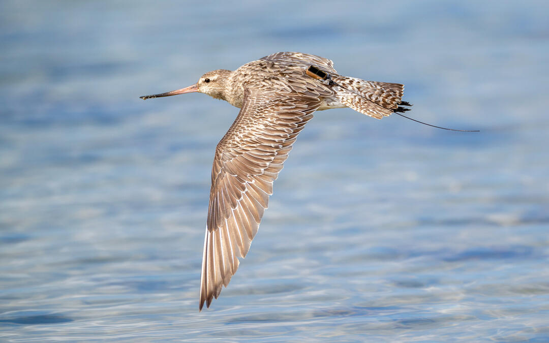 These Mighty Shorebirds Keep Breaking Flight Records?And You Can Follow Along