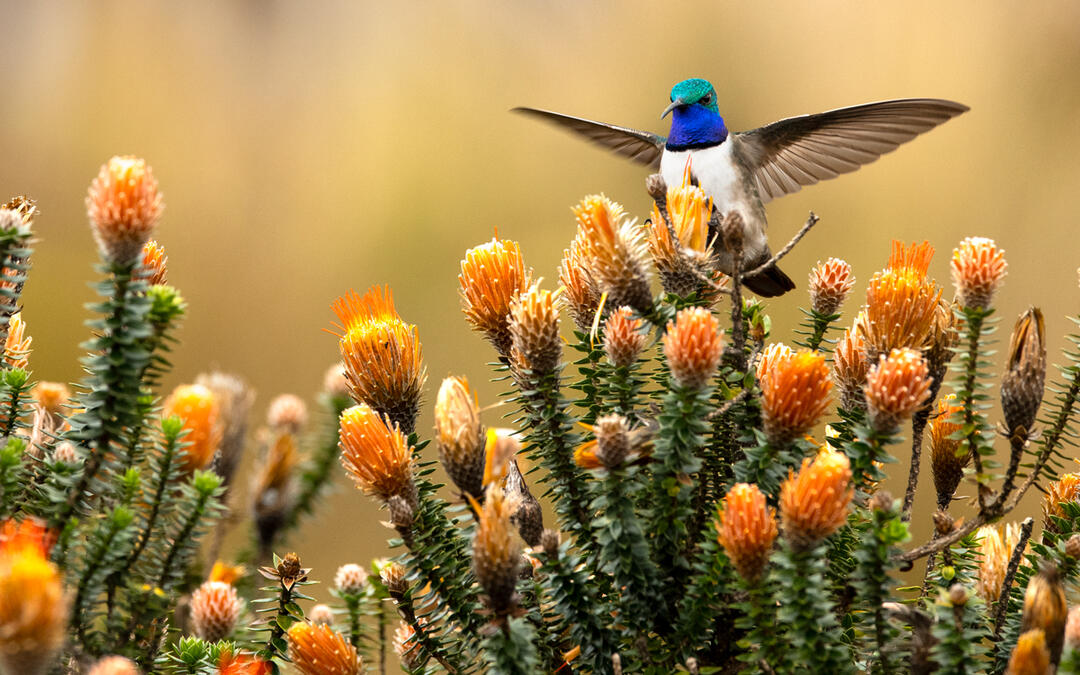 A New Hummingbird Was Discovered In 2017. Now There's a Race to Protect It.