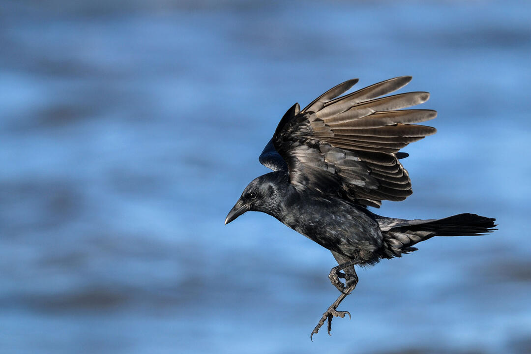 10 Fun Facts About the American Crow