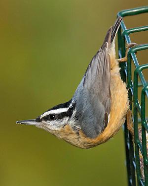 Great Backyard Bird Count Goes Global Feb. 15-18 | Audubon