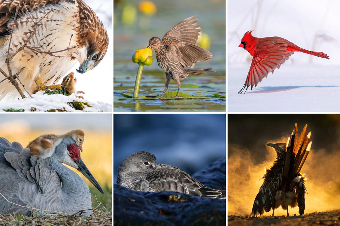 Several of the winning and honorable mention selections, clockwise in a grid from top left: a Red-tailed Hawk claws for a chipmunk; a Red-winged Blackbird dips her bill into a lily pad flower; a Northern Cardinal in flight; a Greater Roadrunner with its back to the camera; a Purple Sandpiper resting; a Sandhill crane adult and chick.