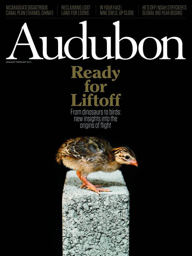 A young guinea fowl gets ready for its close-up at the U.K.'s Royal Veterinary College. Credit: Trevor Ray Hart