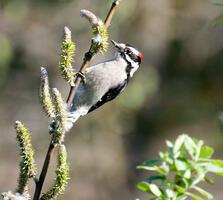 Adult male. MargoBurnison/Audubon Photography Awards