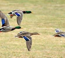 Adults. Karen Bonsell/Great Backyard Bird Count