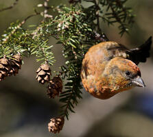 Adult male. Adam W Ciha/Great Backyard Bird Count Participant