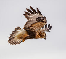 Juvenile (light morph). Marilyn Grubb/Chipabirdee Images/Audubon Photography Awards