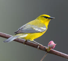 Adult male. Joseph Mahoney/Audubon Photography Awards