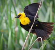 Adult male. Charles Wheeler/Audubon Photography Awards