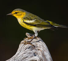Non-breeding adult male. Lorraine Minns/Audubon Photography Awards