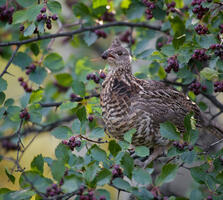 Adult. Matt Stirn/Audubon Photography Awards
