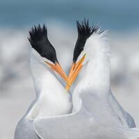 Breeding adults. Peter Brannon/Audubon Photography Awards
