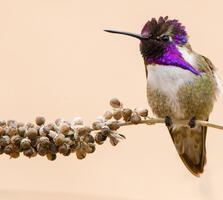 Adult male. Belen Schneider/Audubon Photography Awards