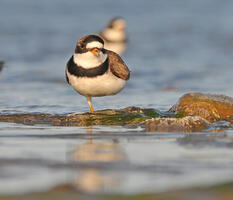 Breeding adults. Venu Challa/Audubon Photography Awards